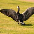 Barnacle goose spreading its wings — Stock Photo