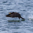 Great cormorant taking off — Stock Photo