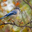 Autumnal blue jay — Stock Photo