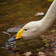 Drinking whooper swan portrait — Stock Photo