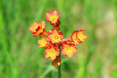 Scarlet cowslip closeup — Stock Photo