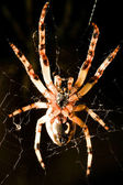 Cross spider macro — Stock Photo