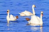 Mute swan threesome — Stock Photo