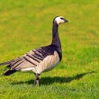 Barnacle goose in profile — Stock Photo