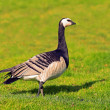 Barnacle goose in profile — Stock Photo #33389517