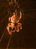 European garden spider feeding macro — Stock Photo
