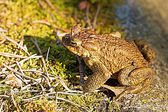 Common toad profile closeup — Stock Photo