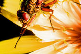 Detail of hoverfly on a yellow flower macro — Stock Photo