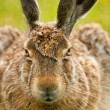European hare frontal portrait — Stock Photo