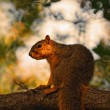 Profile of squirrel on tree branch — Stock Photo