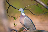 Rock dove portrait — Stock Photo