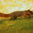 Squirrel run — Stock Photo #35315935
