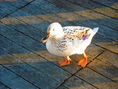 White hybrid duck waddling by — Stock Photo