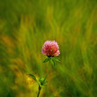 Wild clover closeup — Stock Photo