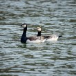 Barnacle goose couple in the water — Stock Photo