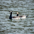 Stock Photo: Barnacle goose couple in water