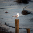 Ring-billed gull on the lookout — Stockfoto