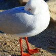 Shy seagull closeup — Photo