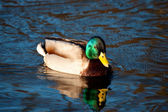 Beautiful mallard drake swimming — Stock Photo