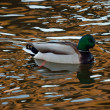 Mallard drake in the rippling water — Stock Photo #37238255