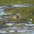 White-faced heron in the marshes — Stockfoto