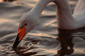 Whooper swan drinking from a rippling surface — Stock Photo