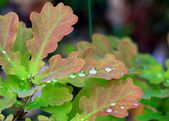 Moist oak leaves closeup — Stock Photo