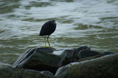 Eastern reef heron standing by the water — Stock Photo