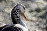 Graylag goose closeup portrait — Stock Photo