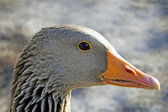 Graylag goose profile portrait — Stock Photo