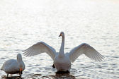 Two whooper swans in a pond — Stock Photo