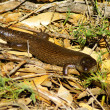 Australian king's skink — Stock Photo