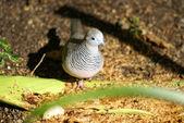 Australian peaceful dove — Stock Photo