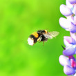 Bumblebee and lupine macro — Stock Photo #41659597