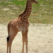 Stock Photo: Giraffe calve