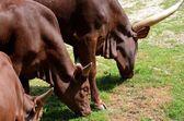 Ankole-Watusi of Ankole longhorn — Stock Photo