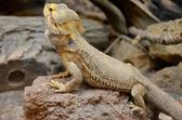 Central Bearded Dragon — Stock Photo