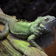 Stock Photo: Reptile