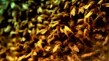 Brown and Yellow Honeybees swarming — Wideo stockowe