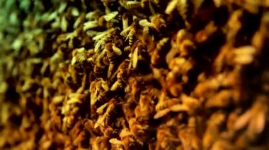 Brown and Yellow Honeybees swarming — Video Stock