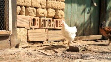 Chicks Running on a Farm Free — Stock Video
