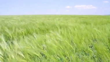 Wheat Field Waves Moved by Summer Wind Nature Crane Shot — Stock Video
