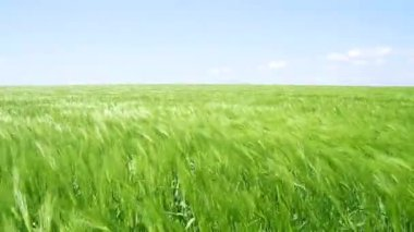 Green Wheat Field Waves Moved by Summer Wind Nature Pan Shot — Stock Video