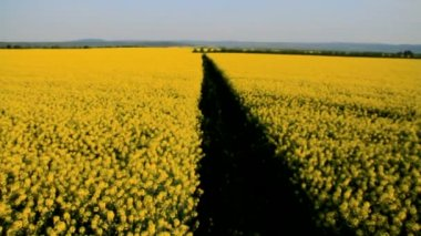 Yellow Oilseed Field Path Crane Shot Spring Agriculture — Stock Video