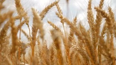 Summer Nature Wheat Field Golden Grain Organic Bread Food — Stock Video