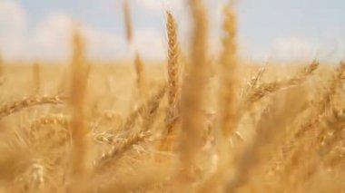 Sky Clouds Wheat Field Summer Fertile Background Concept — Stock Video