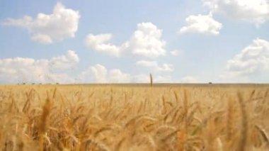 Wheat Field Caressed Wind Crane Shot Nature Health Concept HD — Stock Video