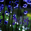 Sunlit Bluebells — Stock Photo