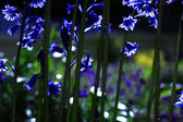 Sunlit Bluebells — Stock Photo