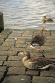 Three ducks — Stock Photo
